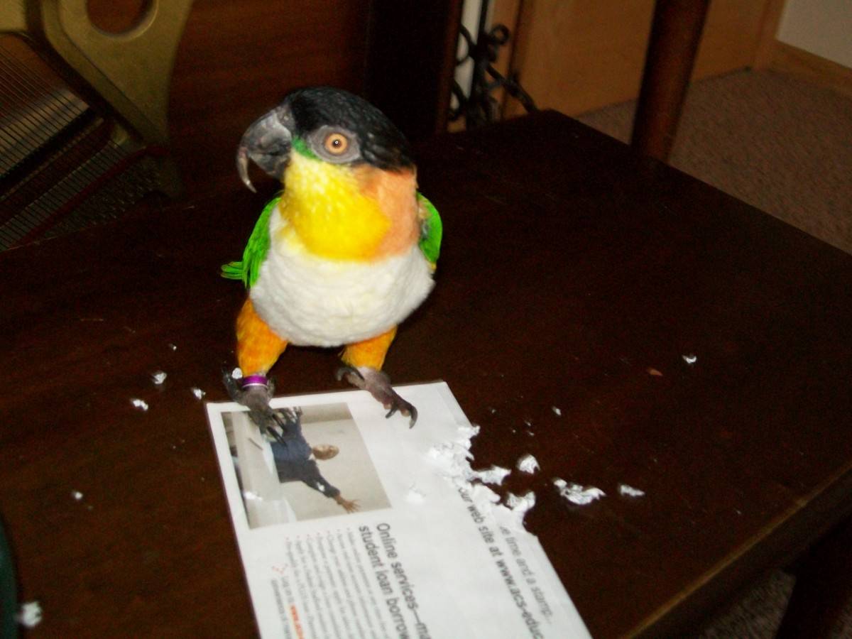 Teddy the black headed caique, doing what he does best...getting into trouble.