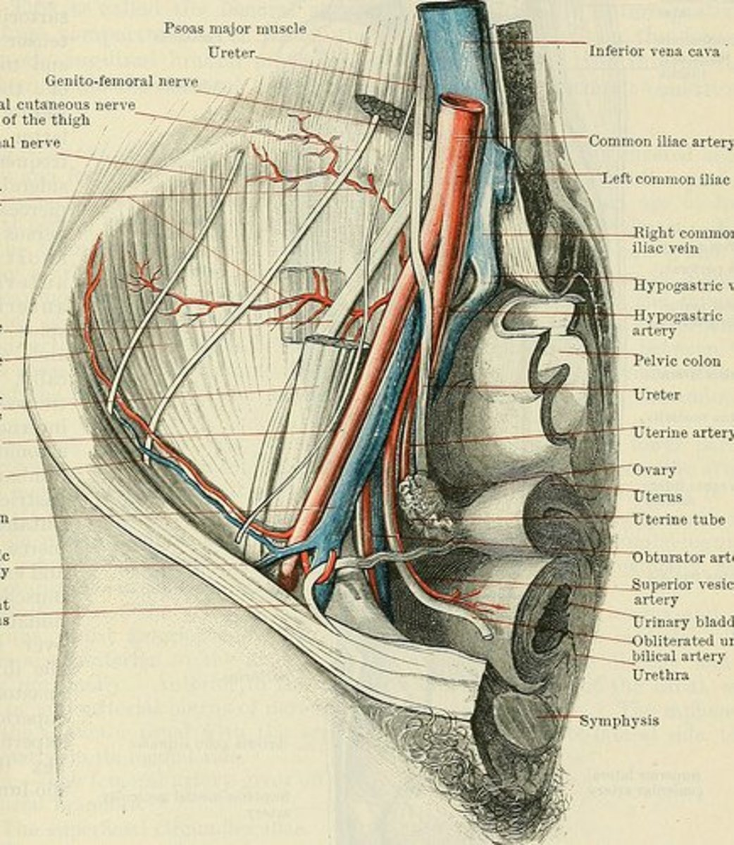 The hip and groin regions are very complex. As you can see from this diagram of the right hip, there are many blood vessels and nerves running through the area.
