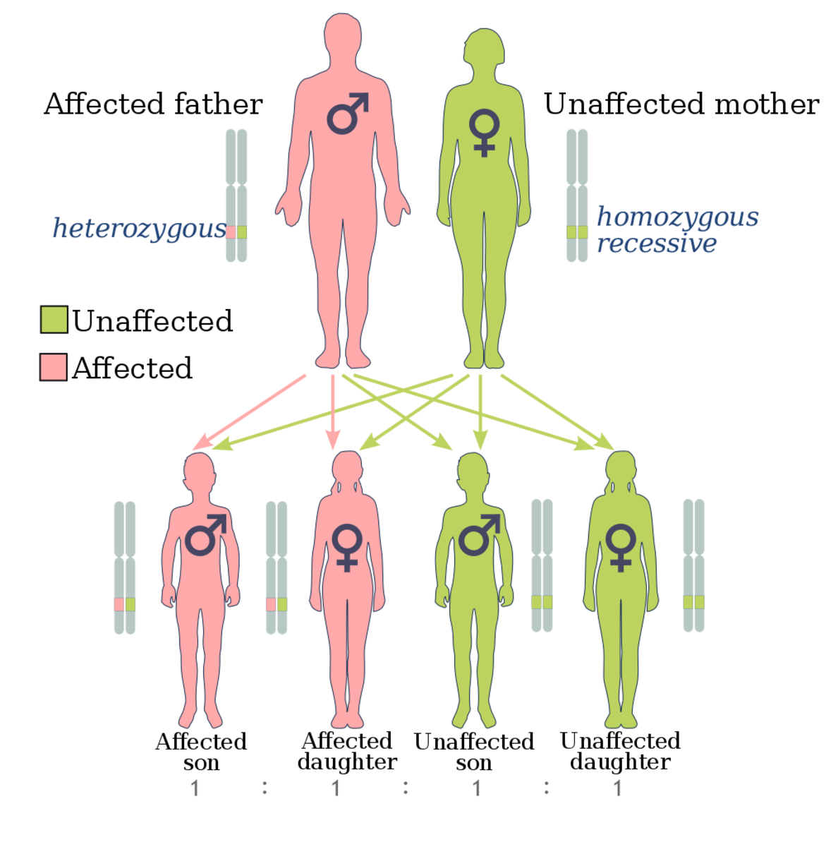 An illustration of how the BRCA genes may be inherited. Documenting your family medical history is important when seeking genetic counseling and testing.