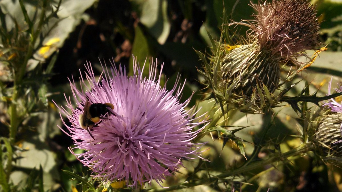 Bumblebee at work pollinating a Russian Thistle