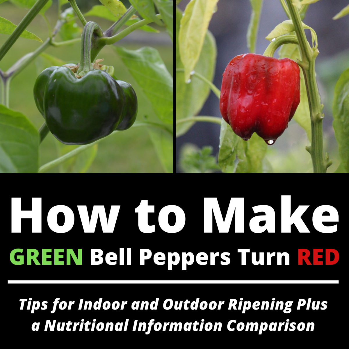 Want those green peppers to ripen to red? Learn how long it takes and what you can do to help.