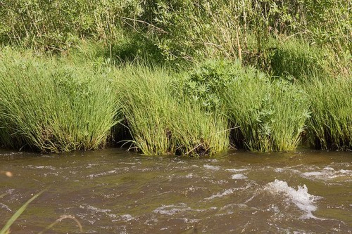 River bank obstructed by tall grass.