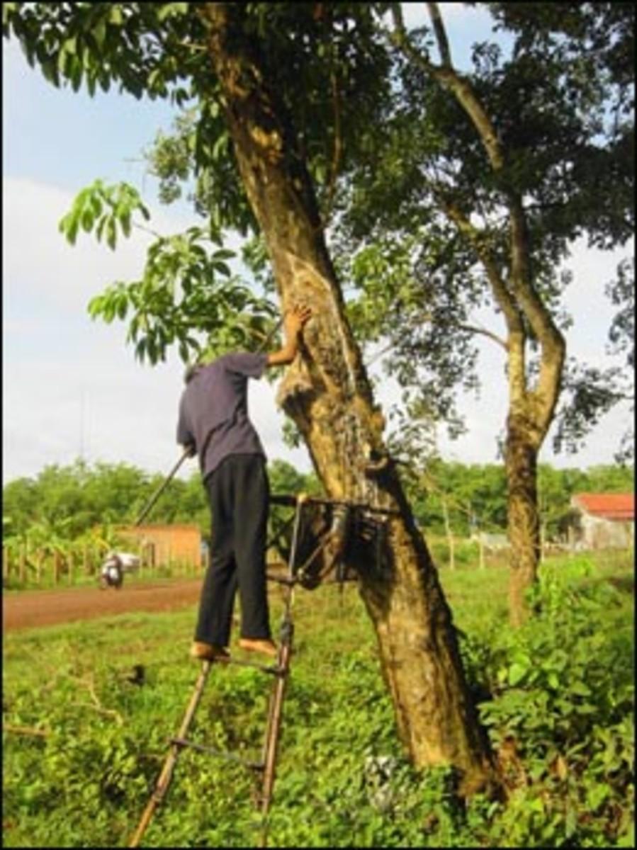Harvesting from a cau-uchu rubber tree.