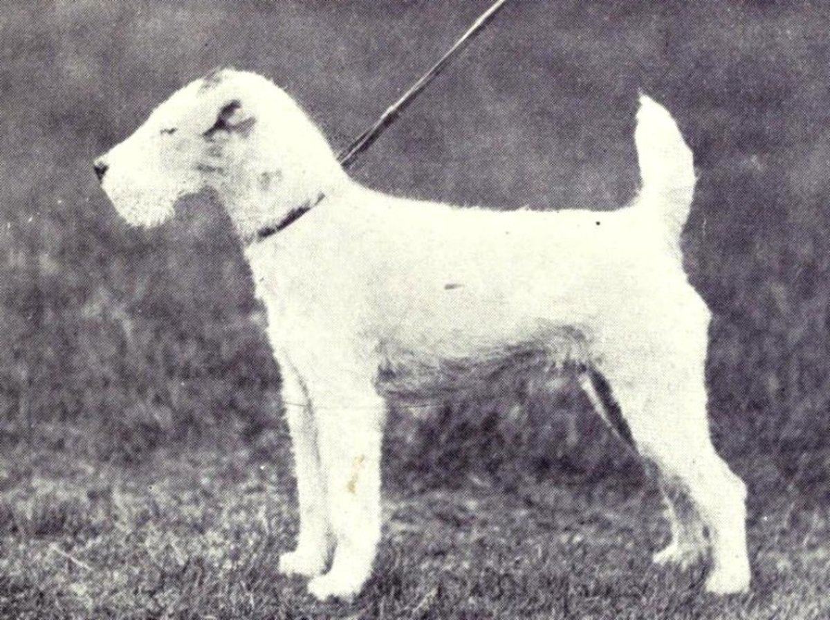 Fox Terrier (wire-hair) from 1915.  Photo:  W. E. Mason  [public domain]