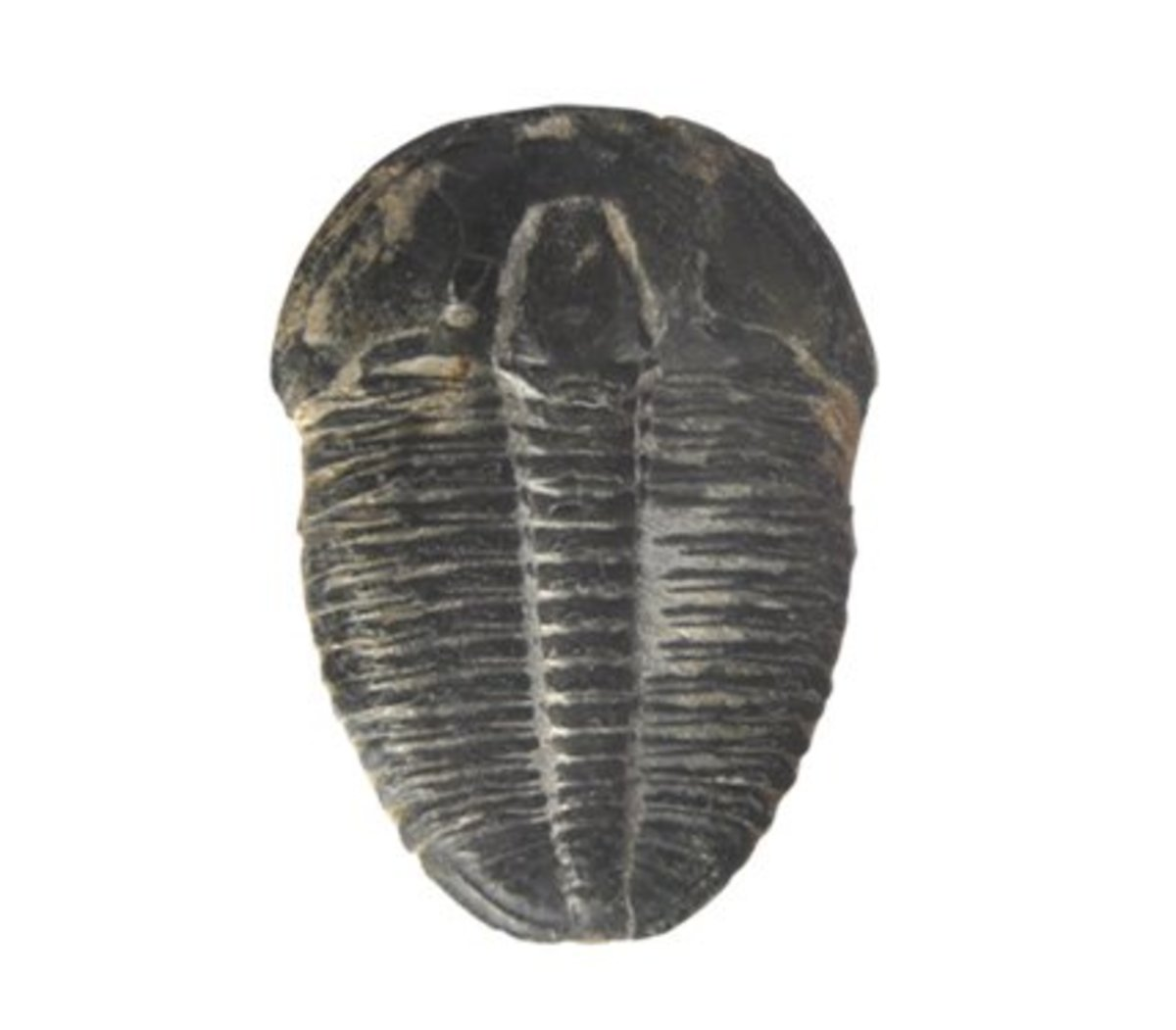 A trilobite from the Middle Cambrian period, Utah USA.