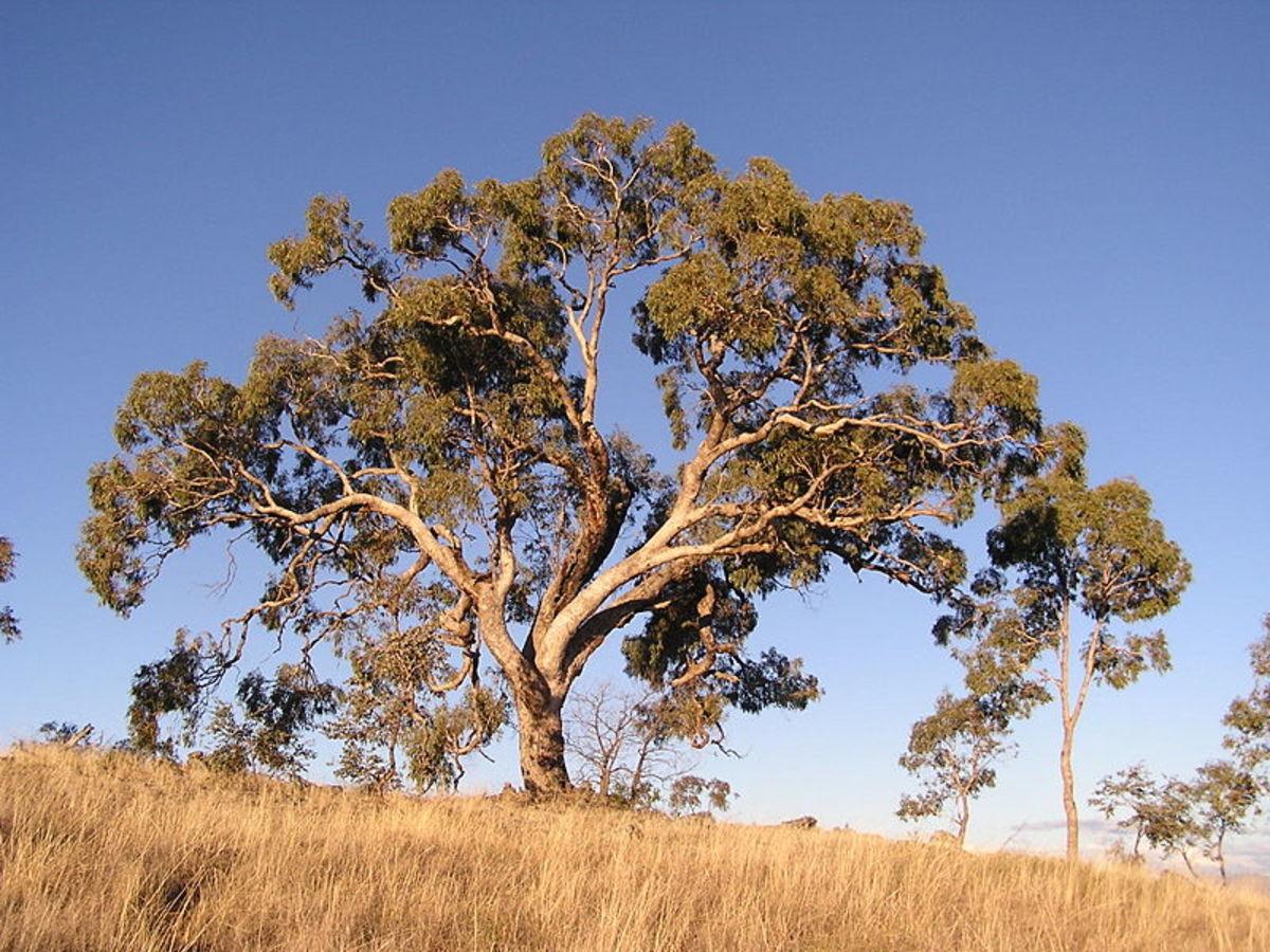 Eucalyptus bridgesiana (apple box) on Red Hill, Australian Capital Territory. The eucalyptus tree is an important, recurring metaphor in Black Science.