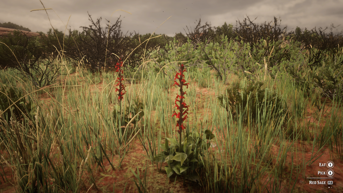 Red Sage. Can be found in the Rio Bravo area.