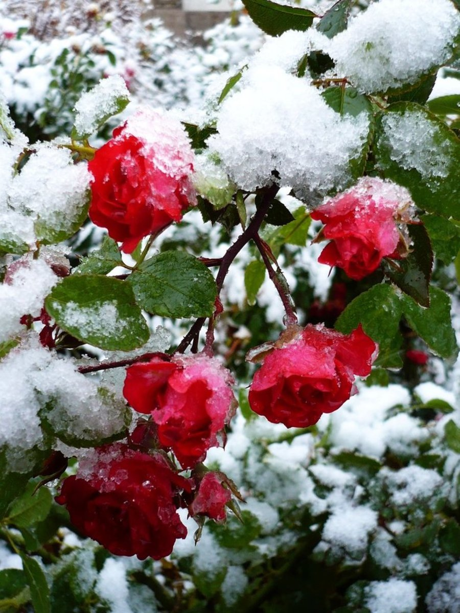 Snow Upon the Roses
