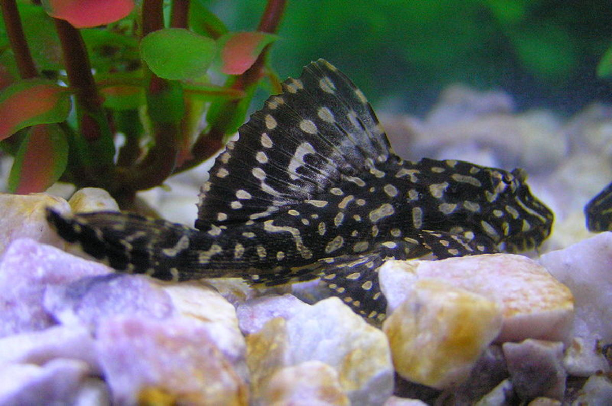 Algae eaters like plecos can help keep your tank clean.