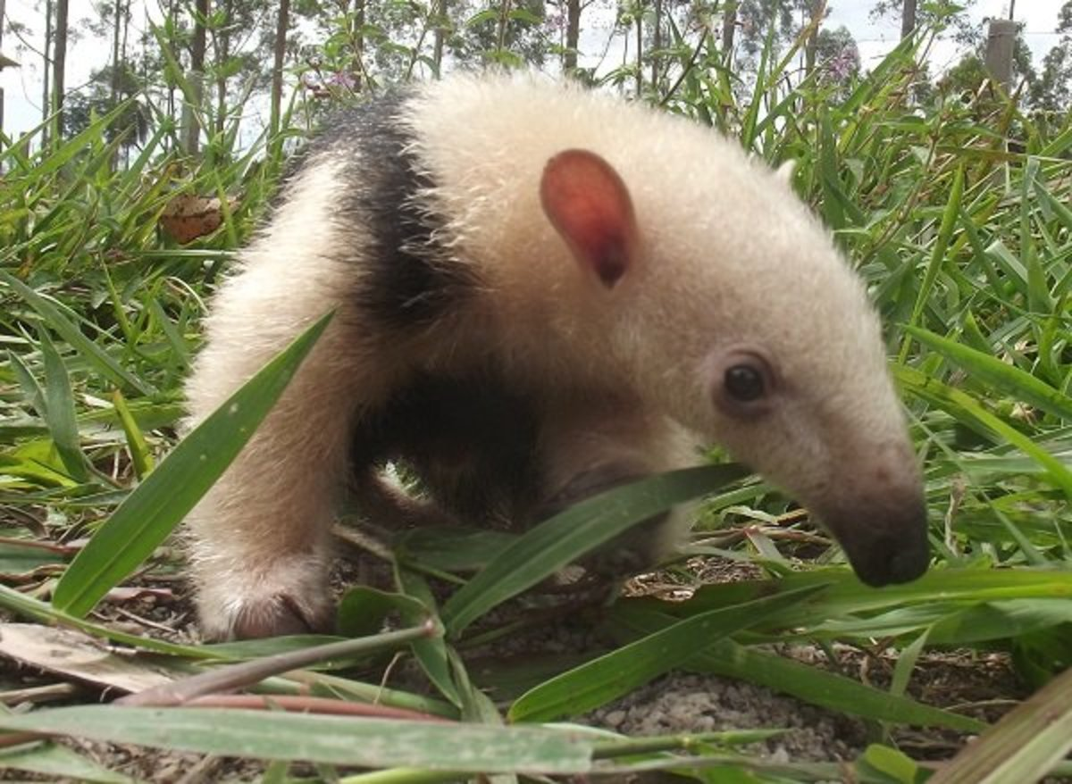 A young Tamandua out searching for a snack.