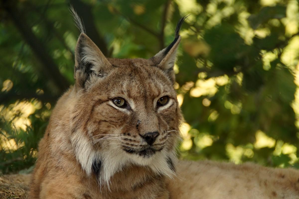the-eurasian-lynx