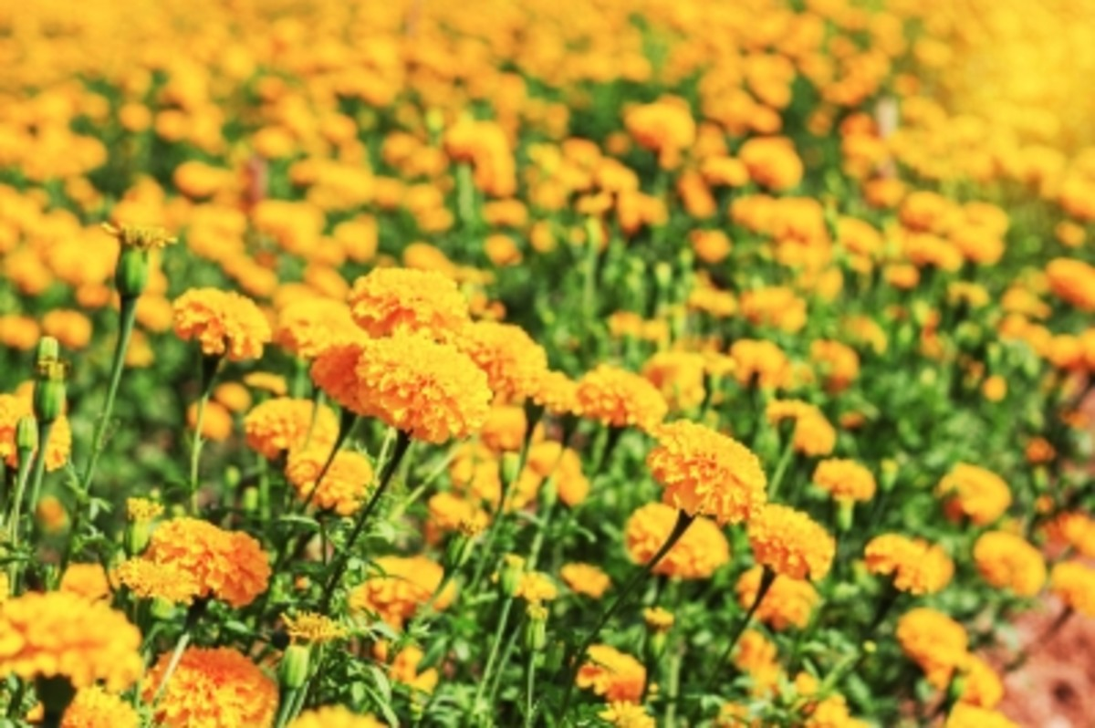Marigolds can be used in many home remedies