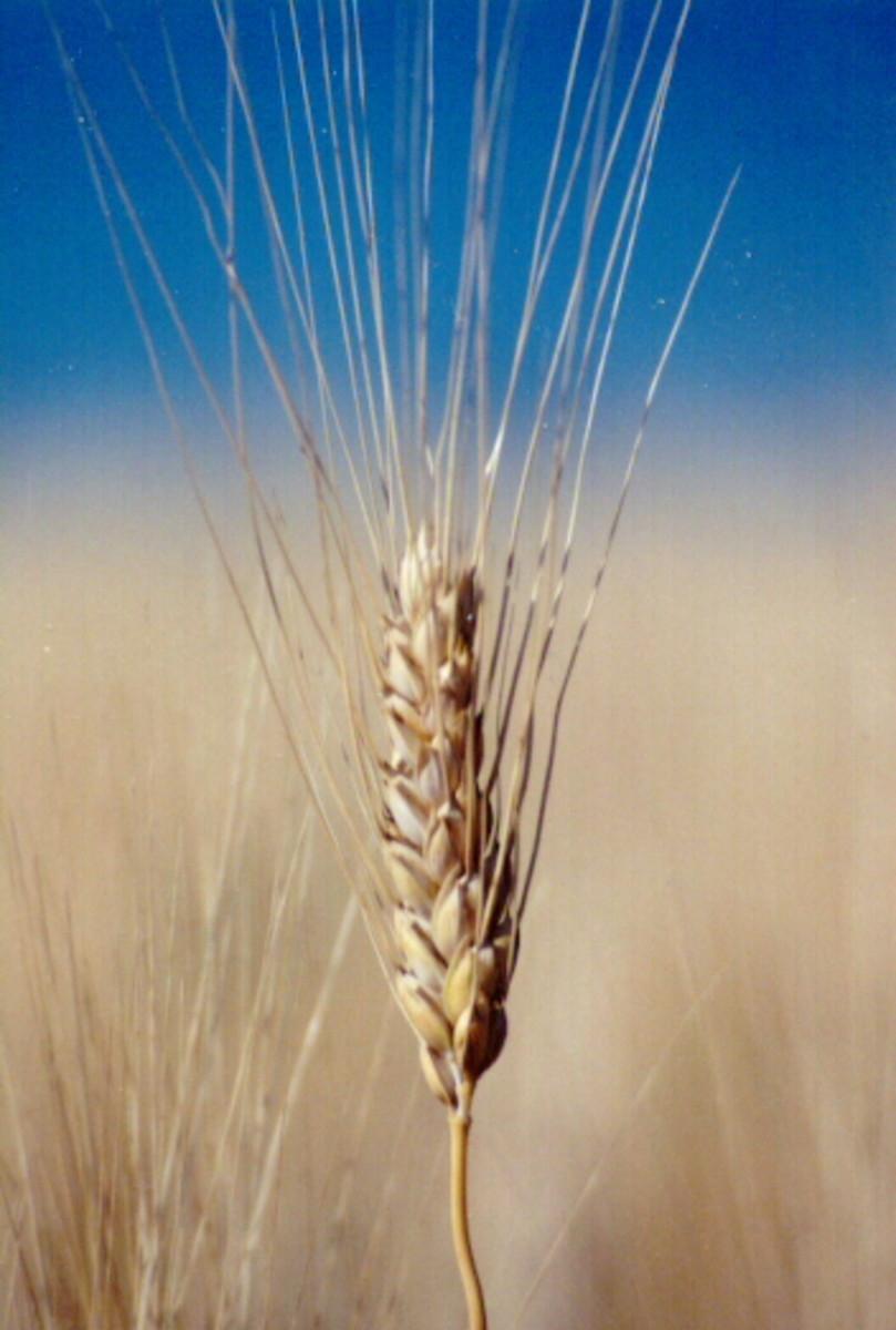 The Education of an American Grain Merchant