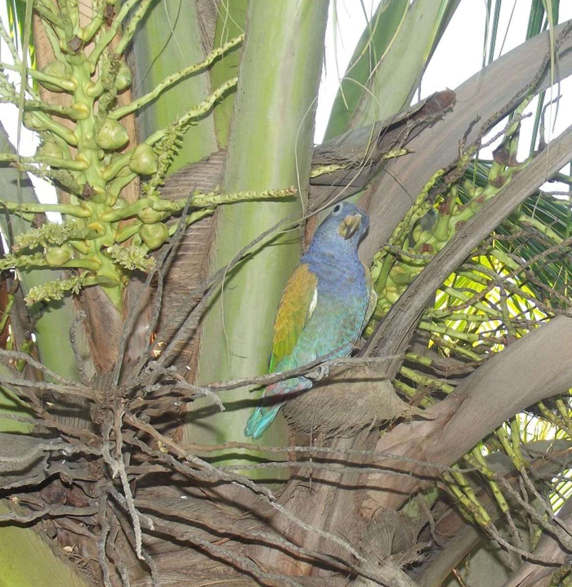 My Pionus parrot in a coconut tree.