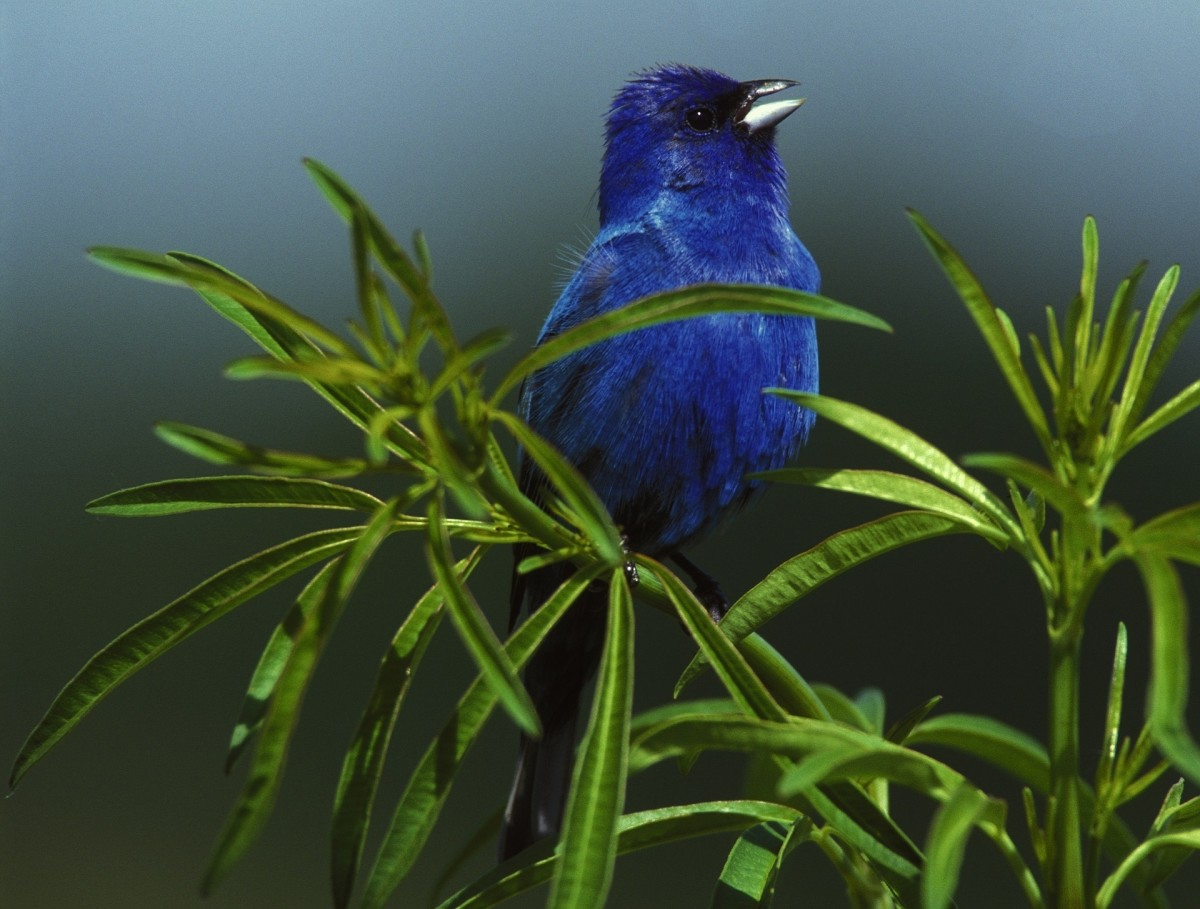 This beautiful little male indigo bunting is a treasure to see.