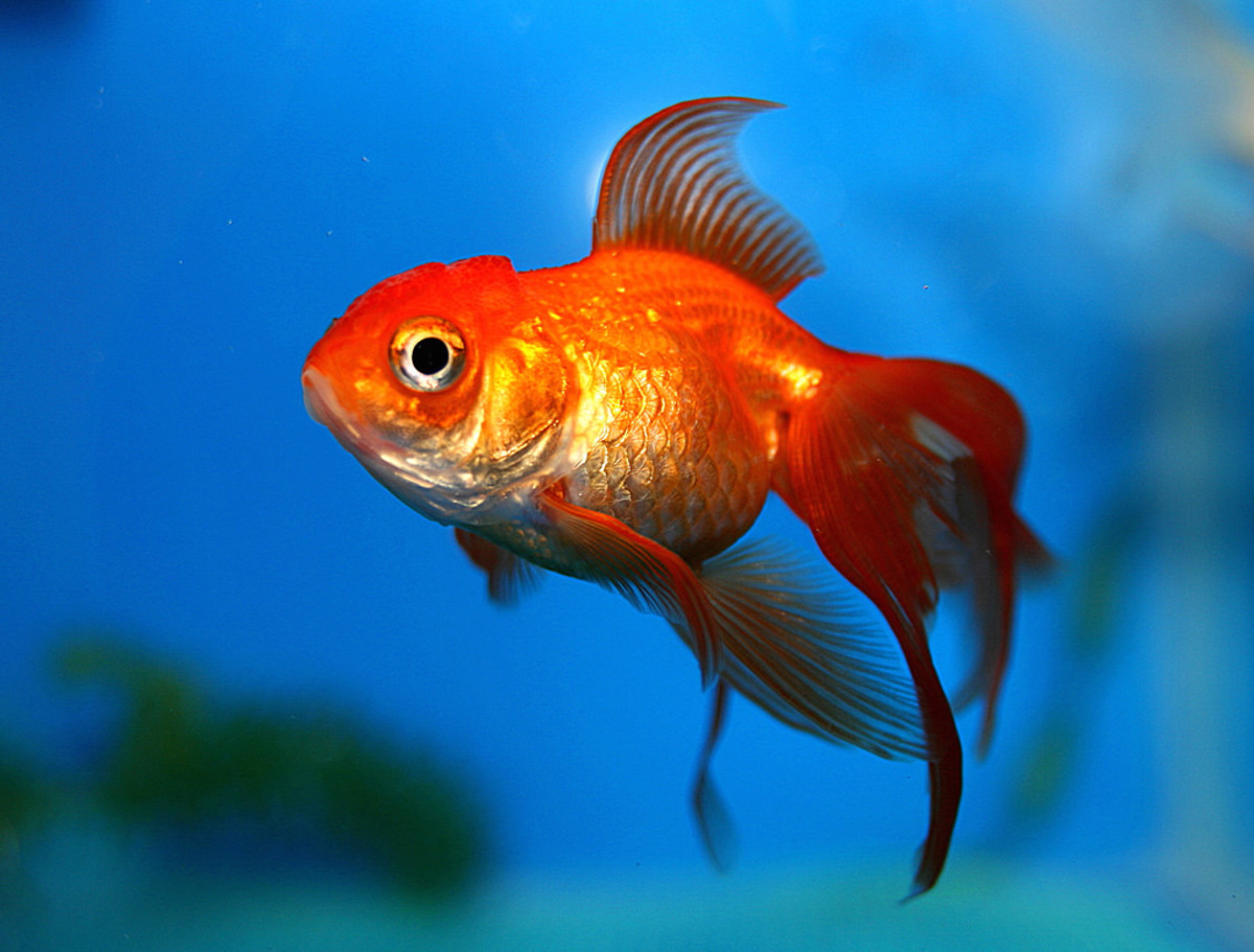 A happy and healthy goldfish showing off his brilliant colors!