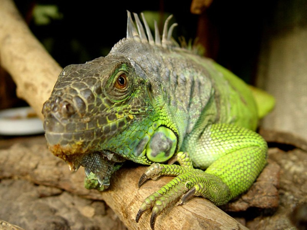 10 Pet Lizards That Don't Need to Eat Live Food