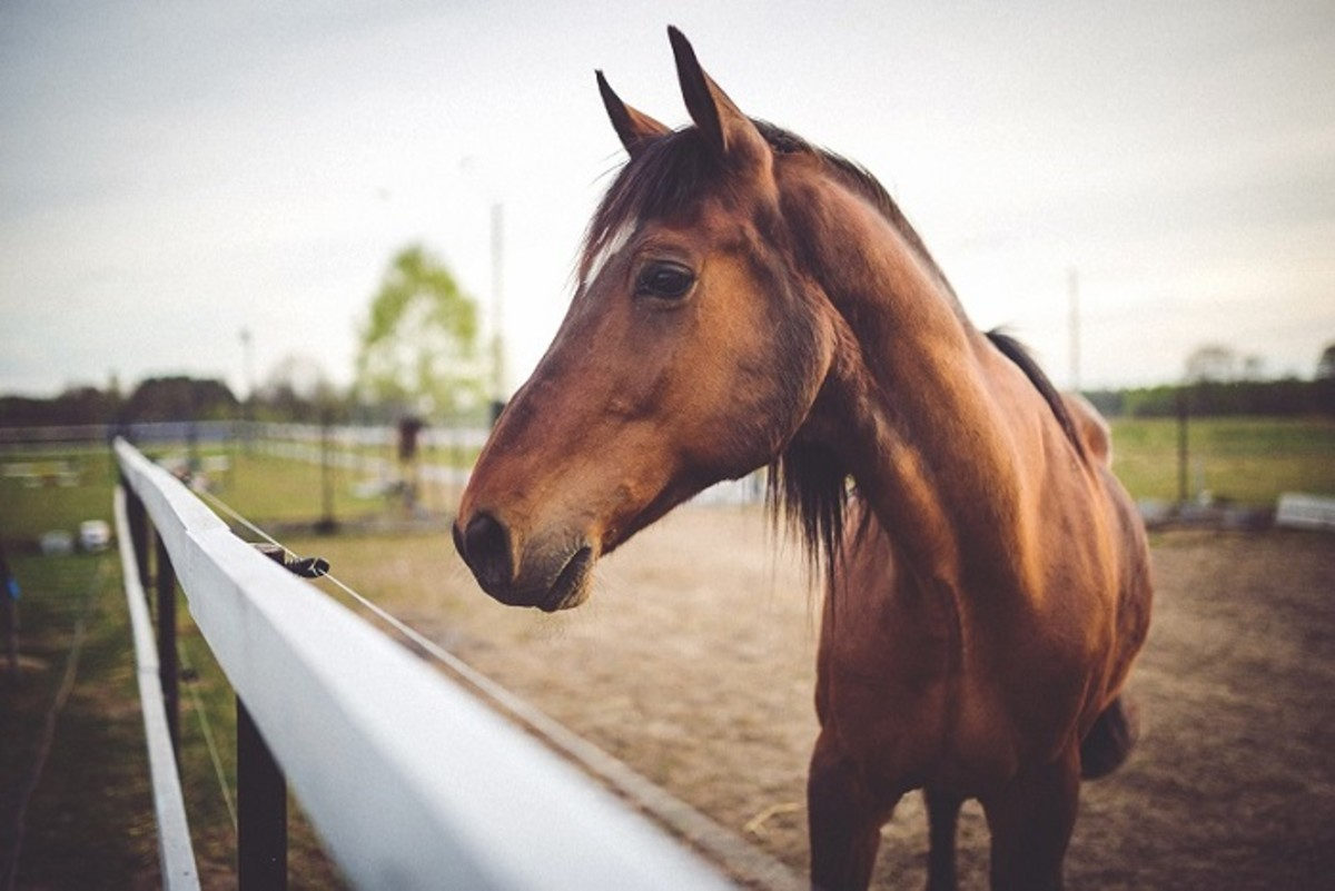 Horse Nosebleeds: Causes and Treatments