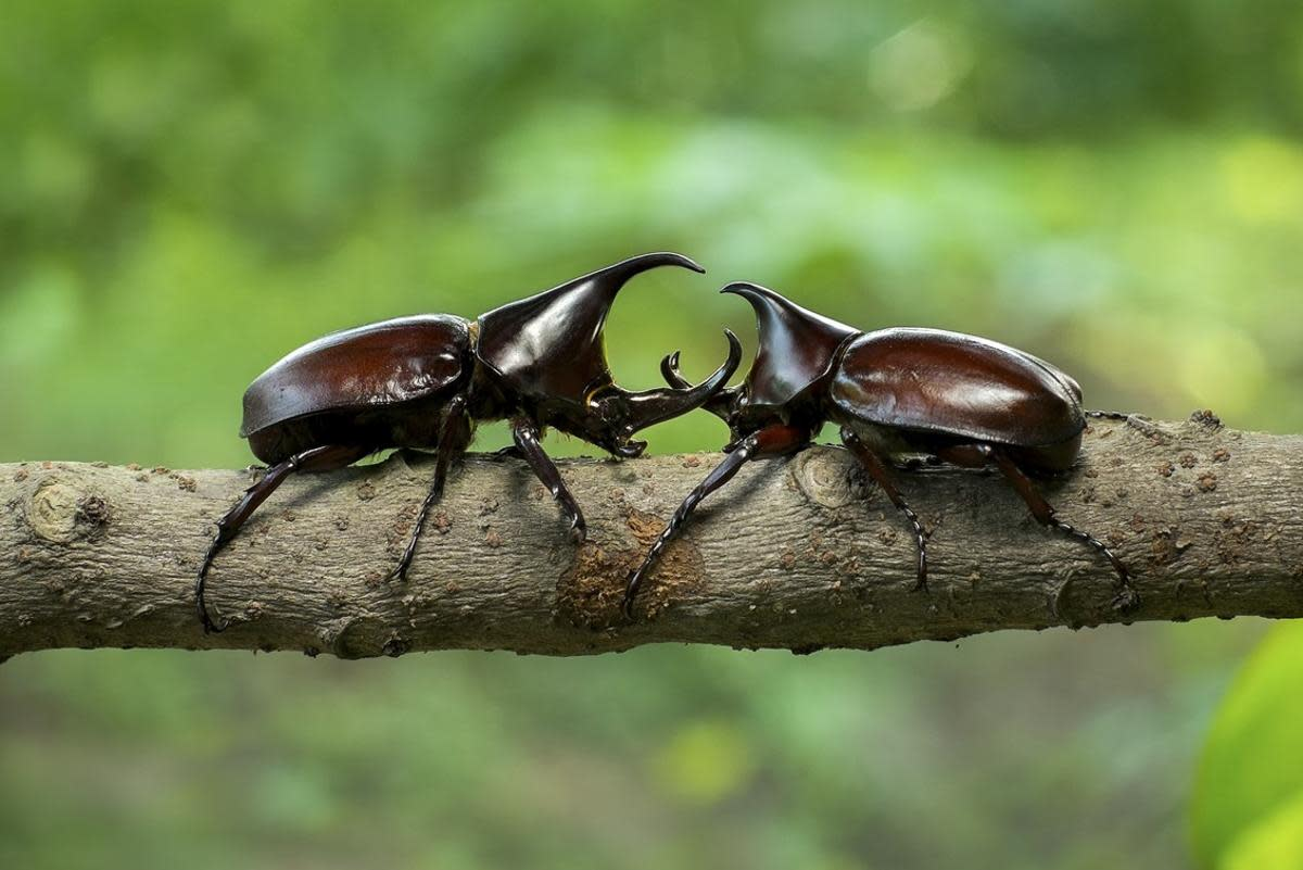Two rhinoceros beetle have some kind of disagreement (probably over mating rights).  Don't worry, they don't use those rhino-like horns on people.
