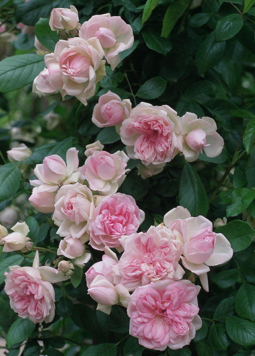 I Color (Pink)