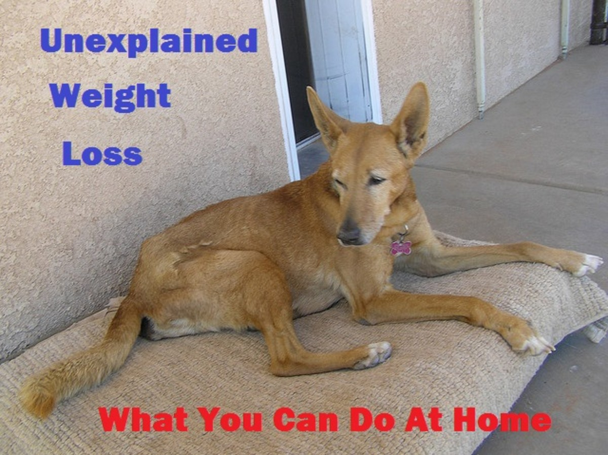 Unexplained Weight Loss in Dogs—What You Can Do at Home