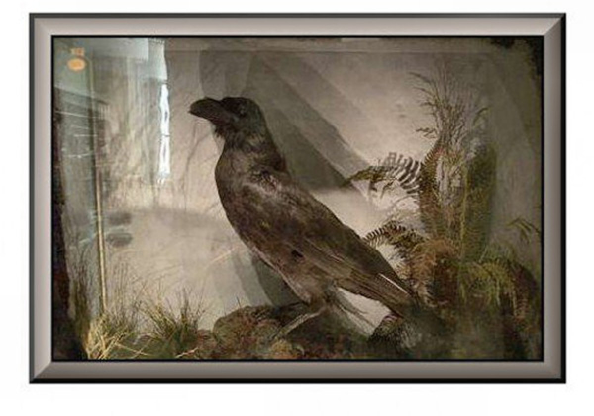 The reputed to be pet raven of Charles Dickens