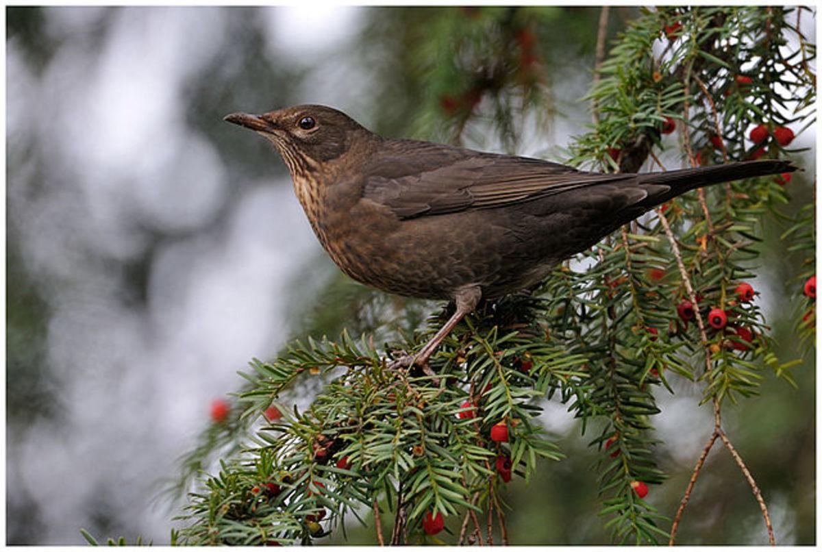 Faithful Blackbird and Sweet Princess