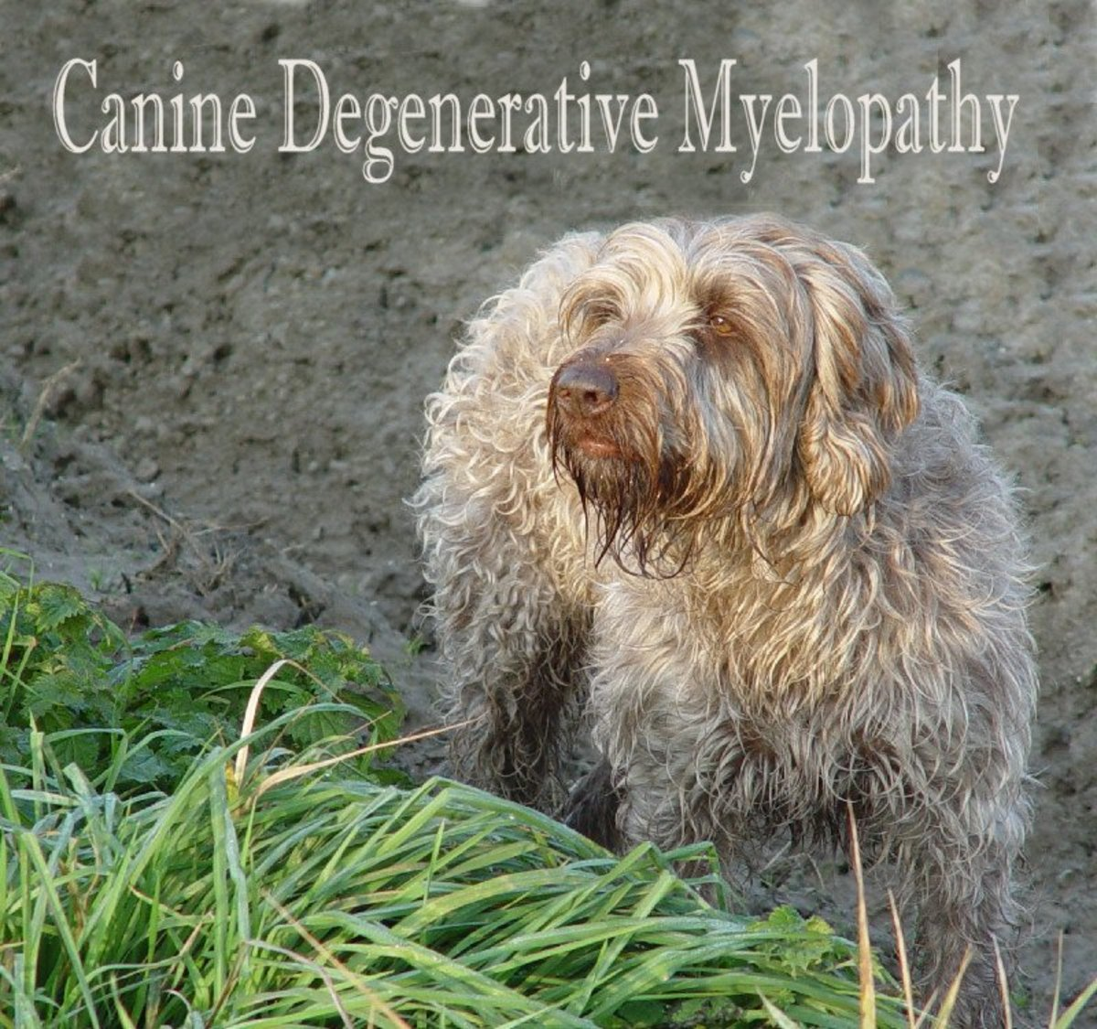 Canine Degenerative Myelopathy and My Experience