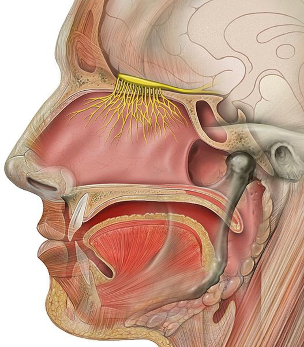 Head anatomy showing the olfactory nerves.