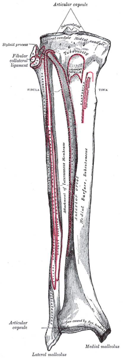 The fibula is the thinner bone of the two.
