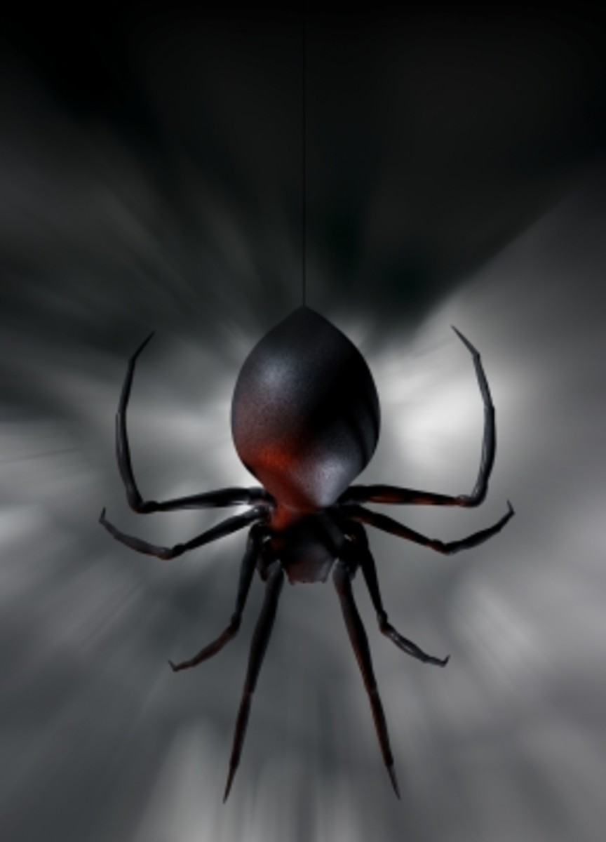 North America's black widow spider is a relative of Australia's redback spider. Note the similar bulbous abdomen.