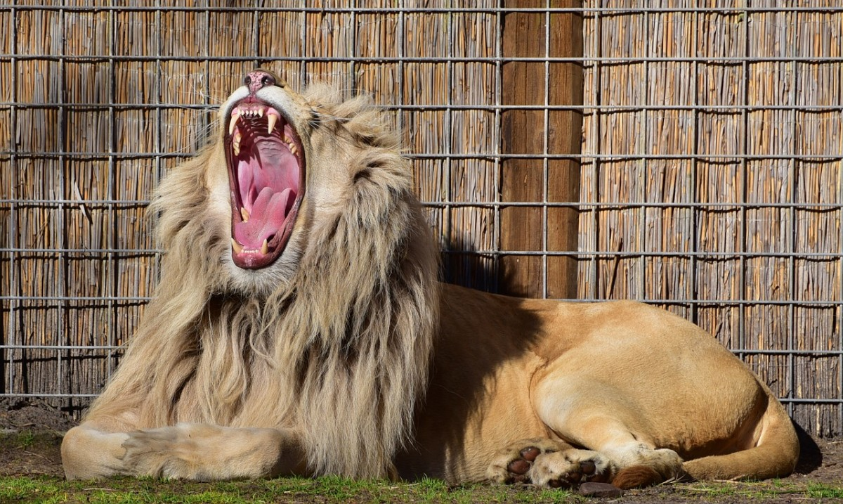 What's more prideful than a lion