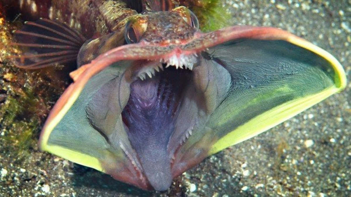 The sarcastic fringehead doesn't look very sarcastic about the fact that it's about to rip someone's head off.