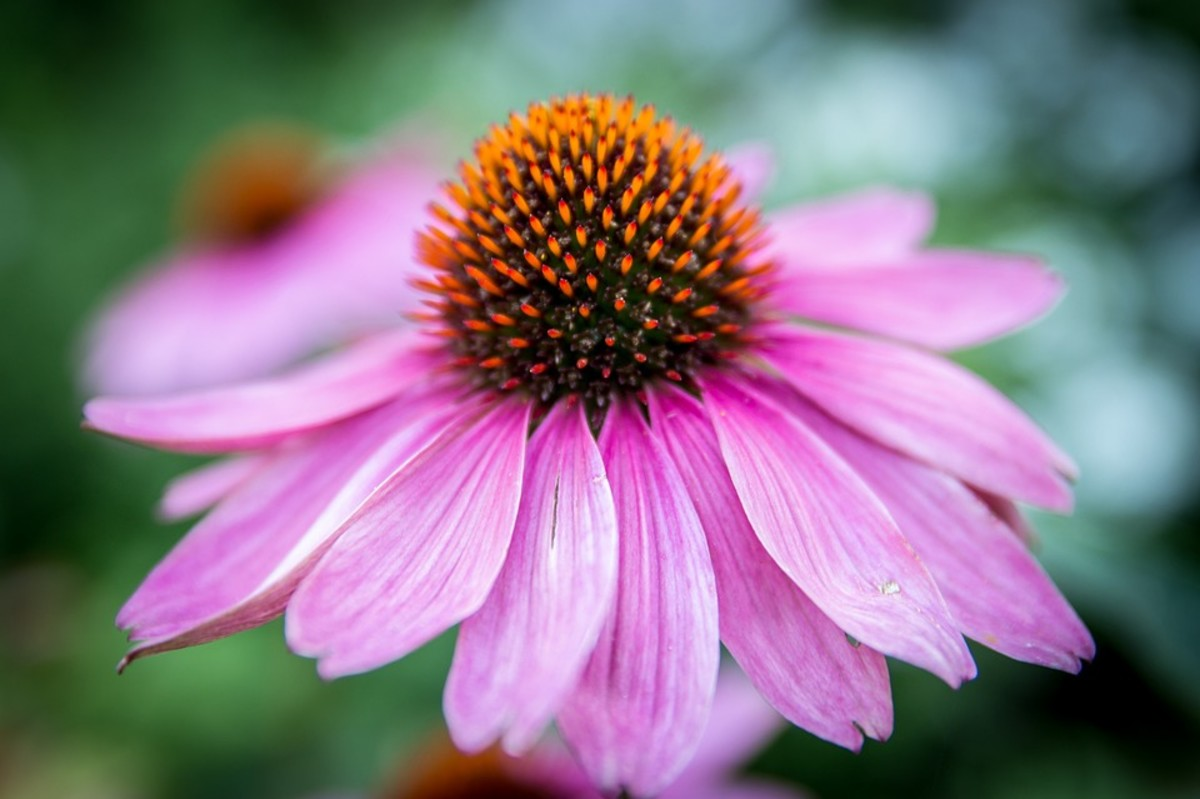 The Echinacea flower is beautiful, but eating it isn't going to stop your nose from running.