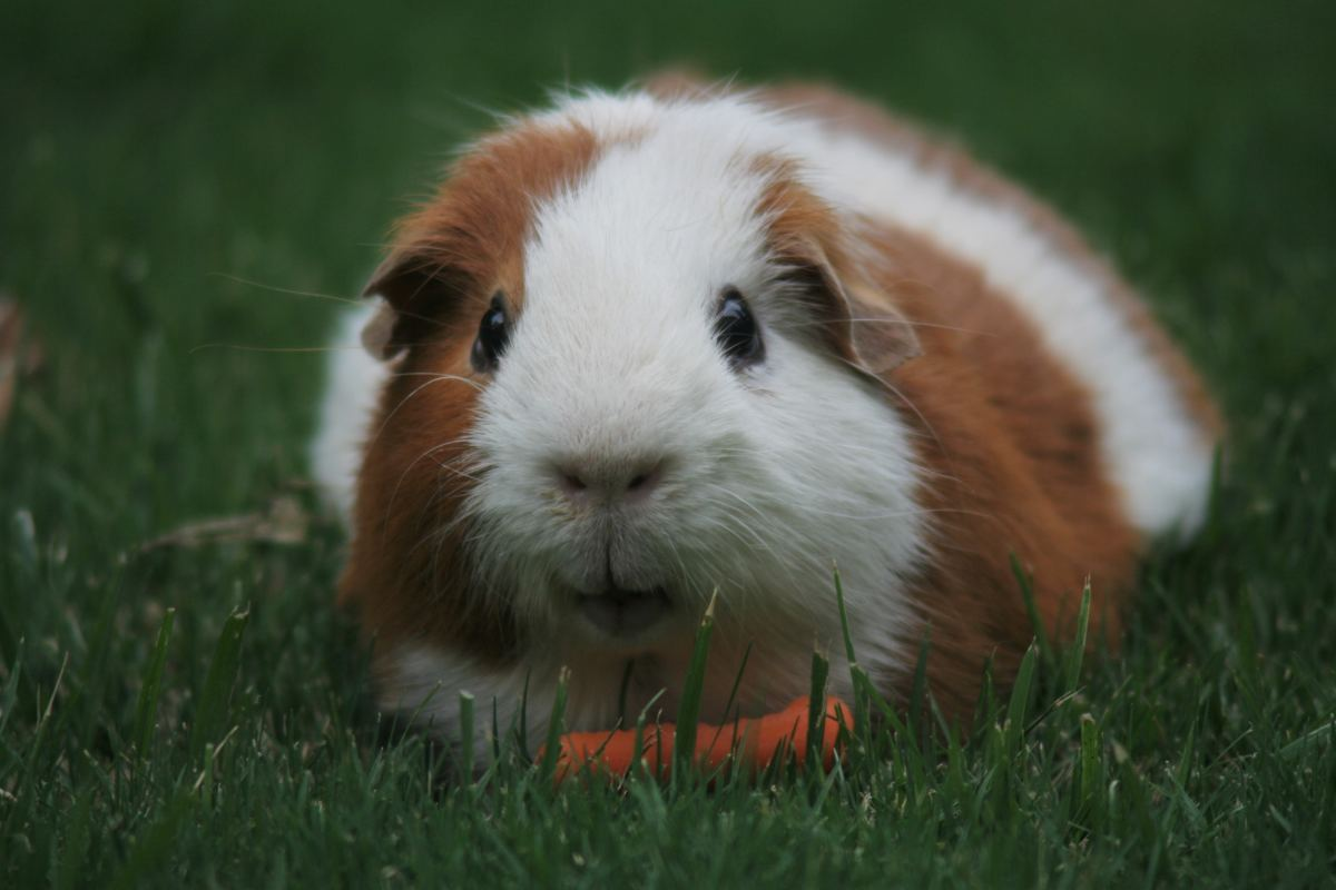 6 Reasons Why Guinea Pigs Are Great Pets