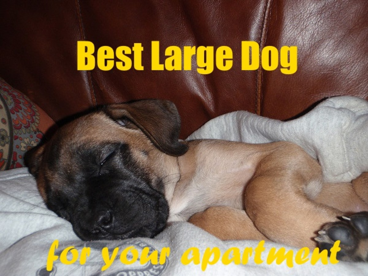 The English Mastiff is one of the best large dog breeds for an apartment.