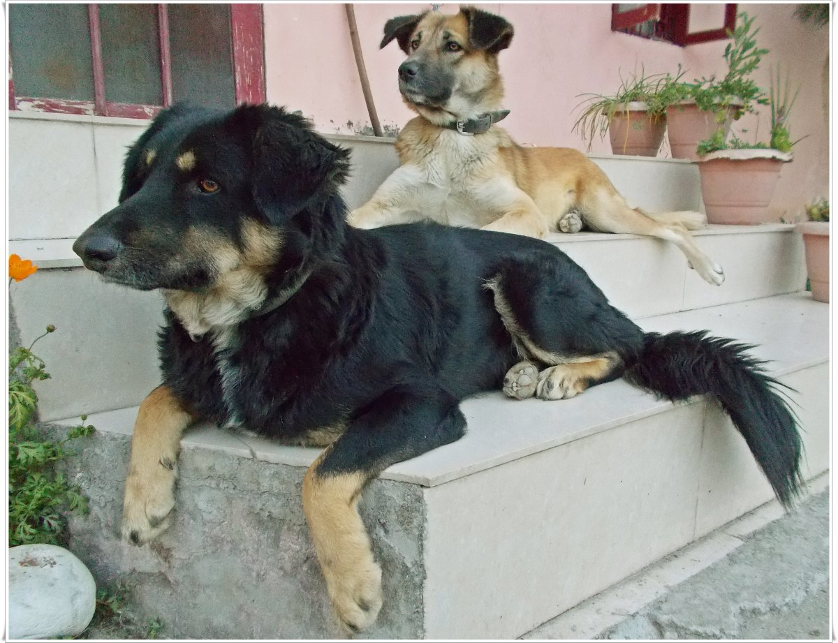 "One of those ""safe"" days: Meegnu (black) and Perci (brown) chilling outside while guarding the front house."