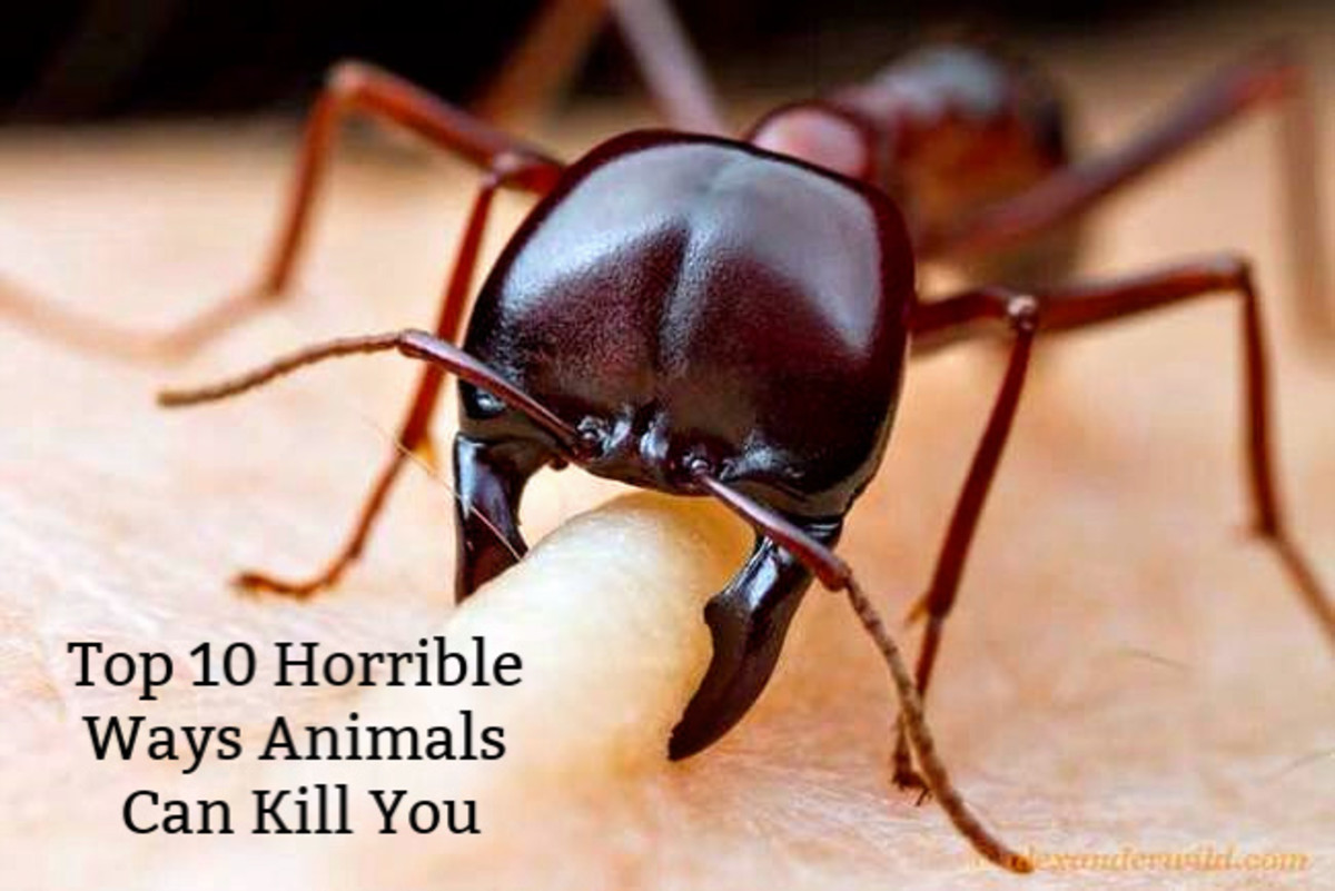 The African Driver Ant is an insect responsible for one of the top 10 horrible ways animals kill people.