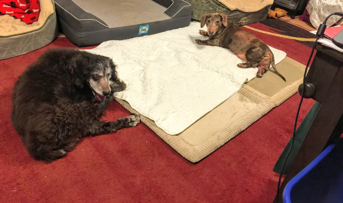 Hope, Boykin Spaniel, and Sebastian, dachshund in Jan 2018
