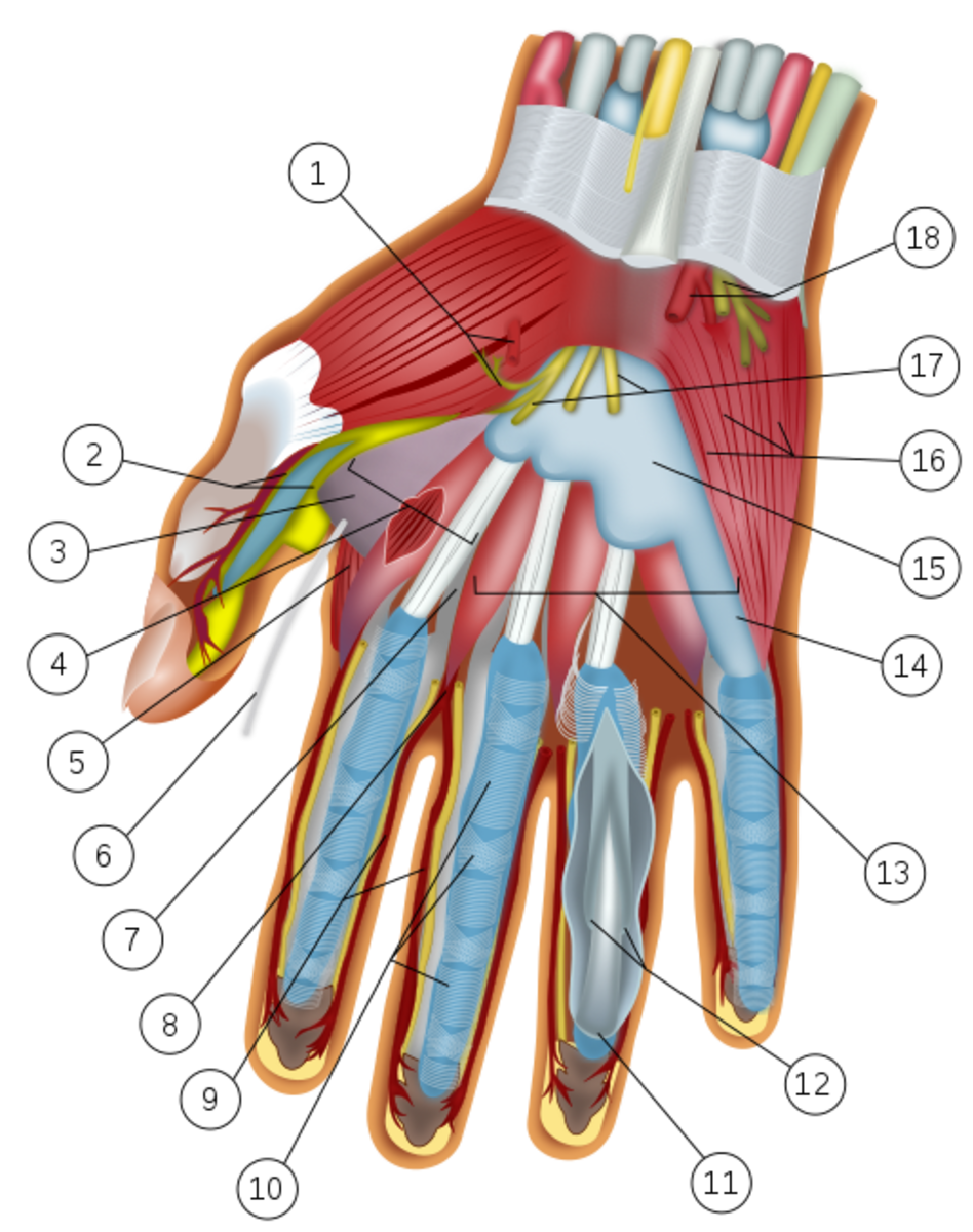 Wrist and hand anatomy. Yellow nerve in center of wrist is median nerve. Distal portion shown as 17.