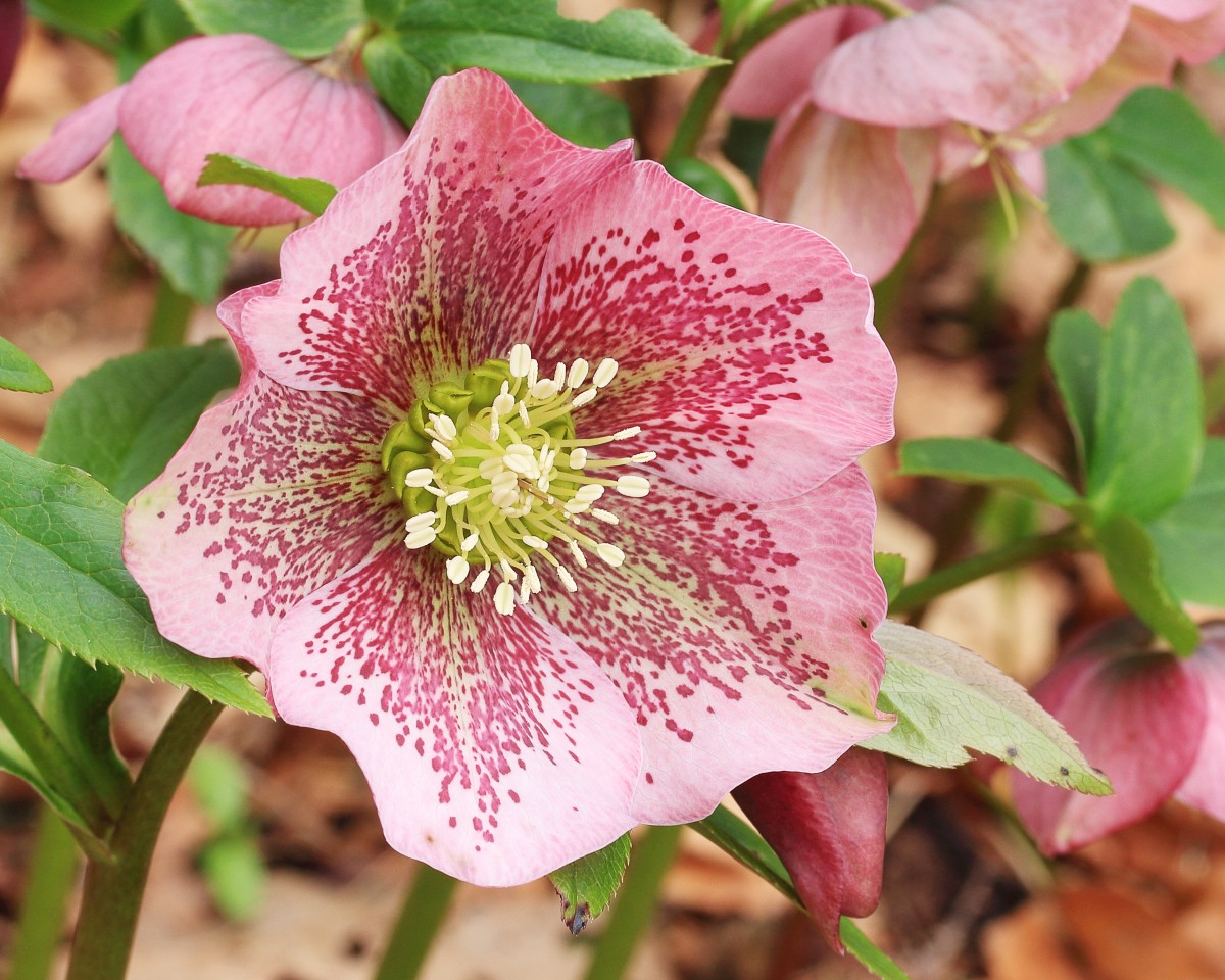 Hellebores: Beautiful Flowers of Late Winter and Spring