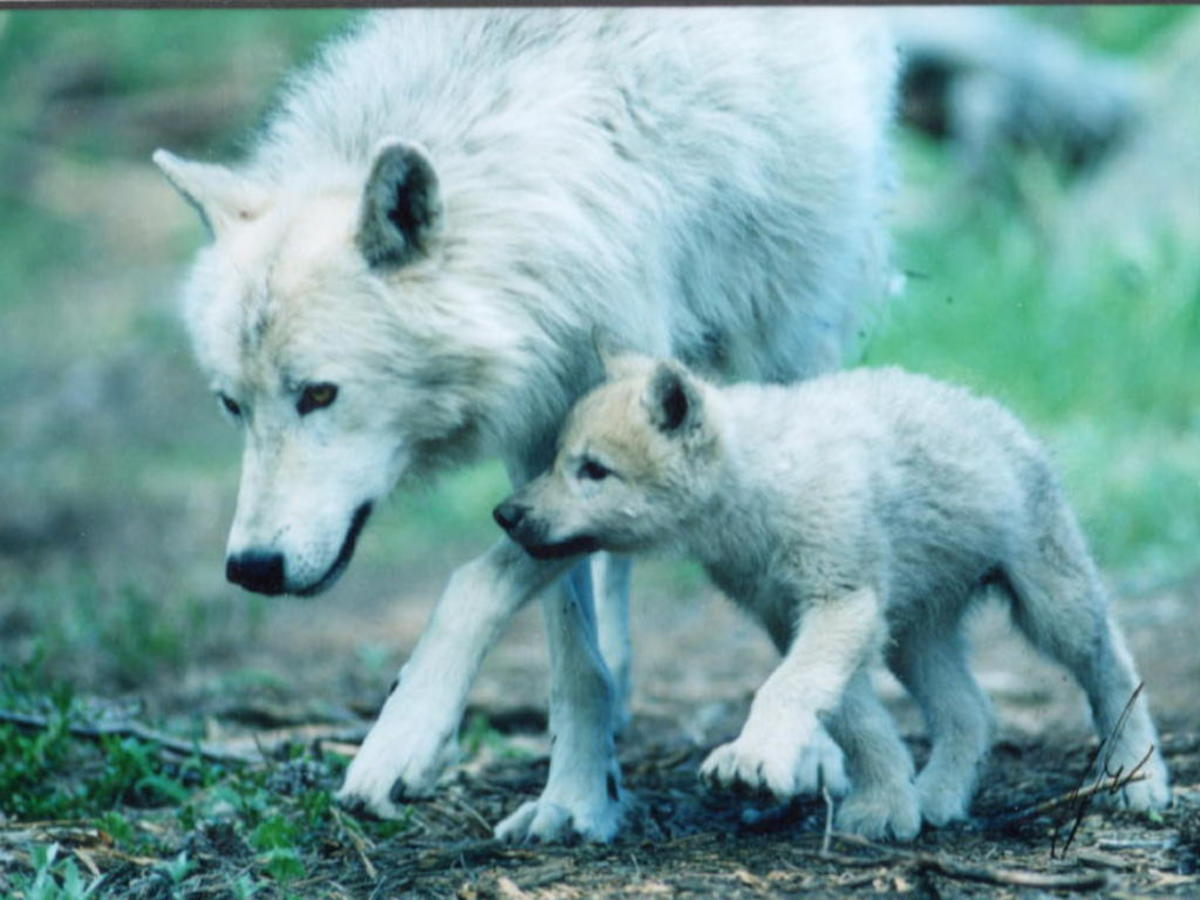 Tales From the Universe Tree: Wolves of Ice and Fire. Part Four: A Mother's Love.