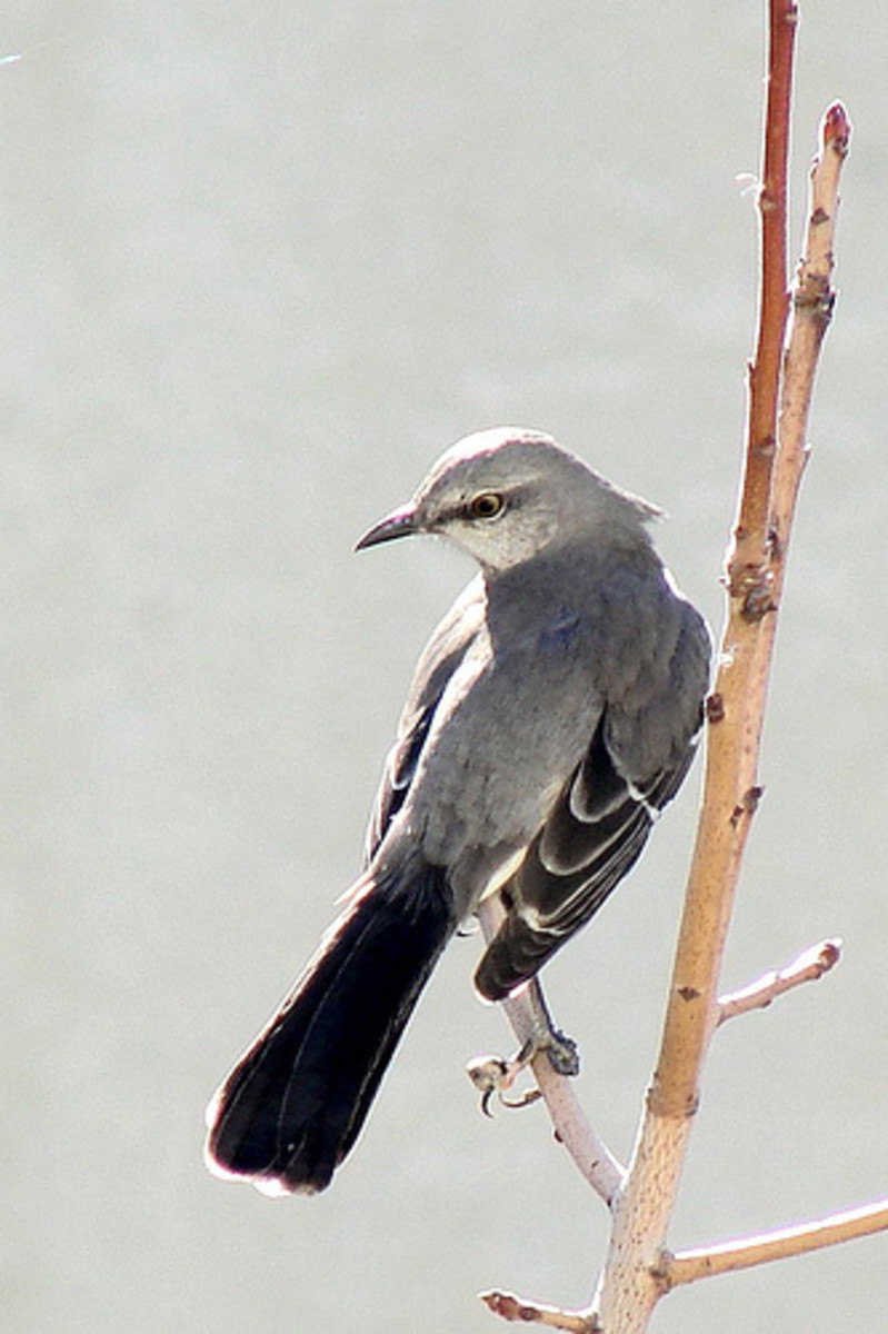 melody-of-the-mockingbird