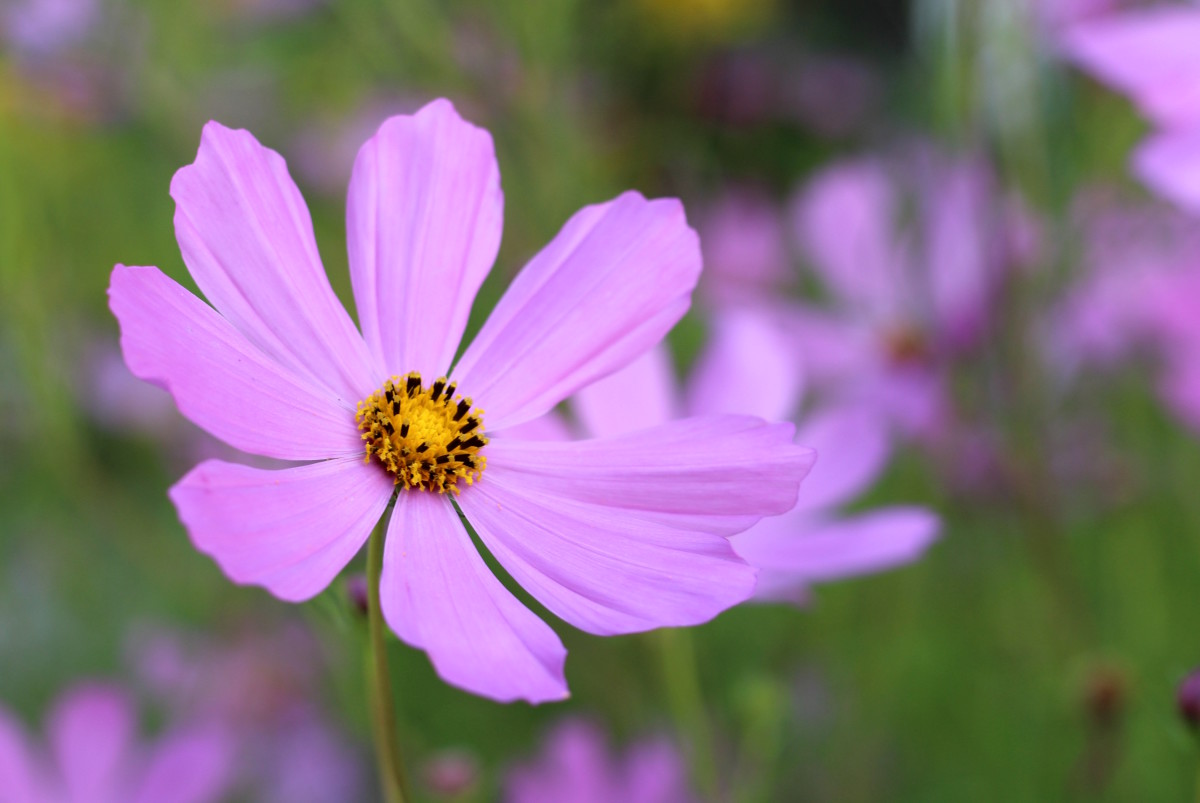 summer flowers growing in a church garden a photo essay feltmagnet purple cosmos