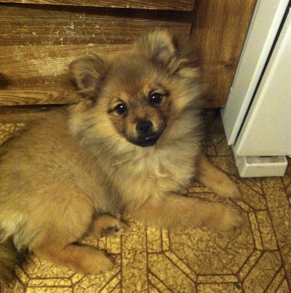 Caring for My Pomeranian