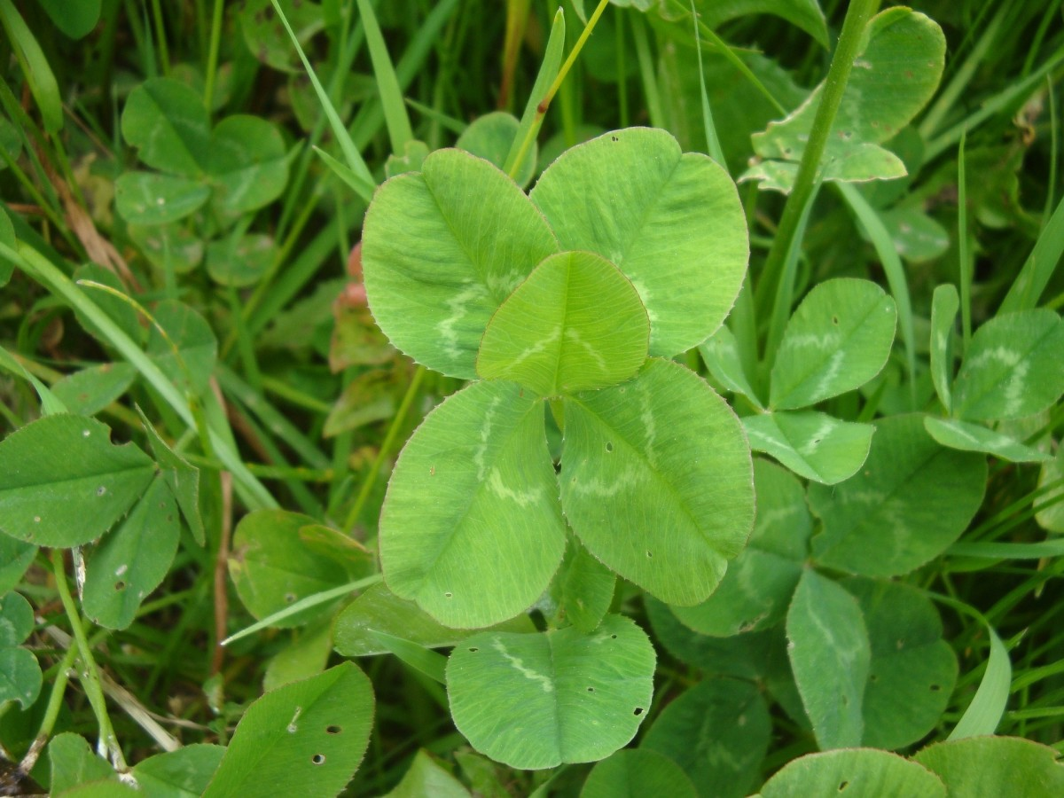 Counting Five Leaf Clovers - A Love Poem