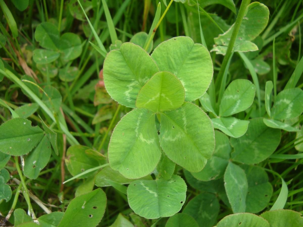 Lucky 5 Leaf Clover