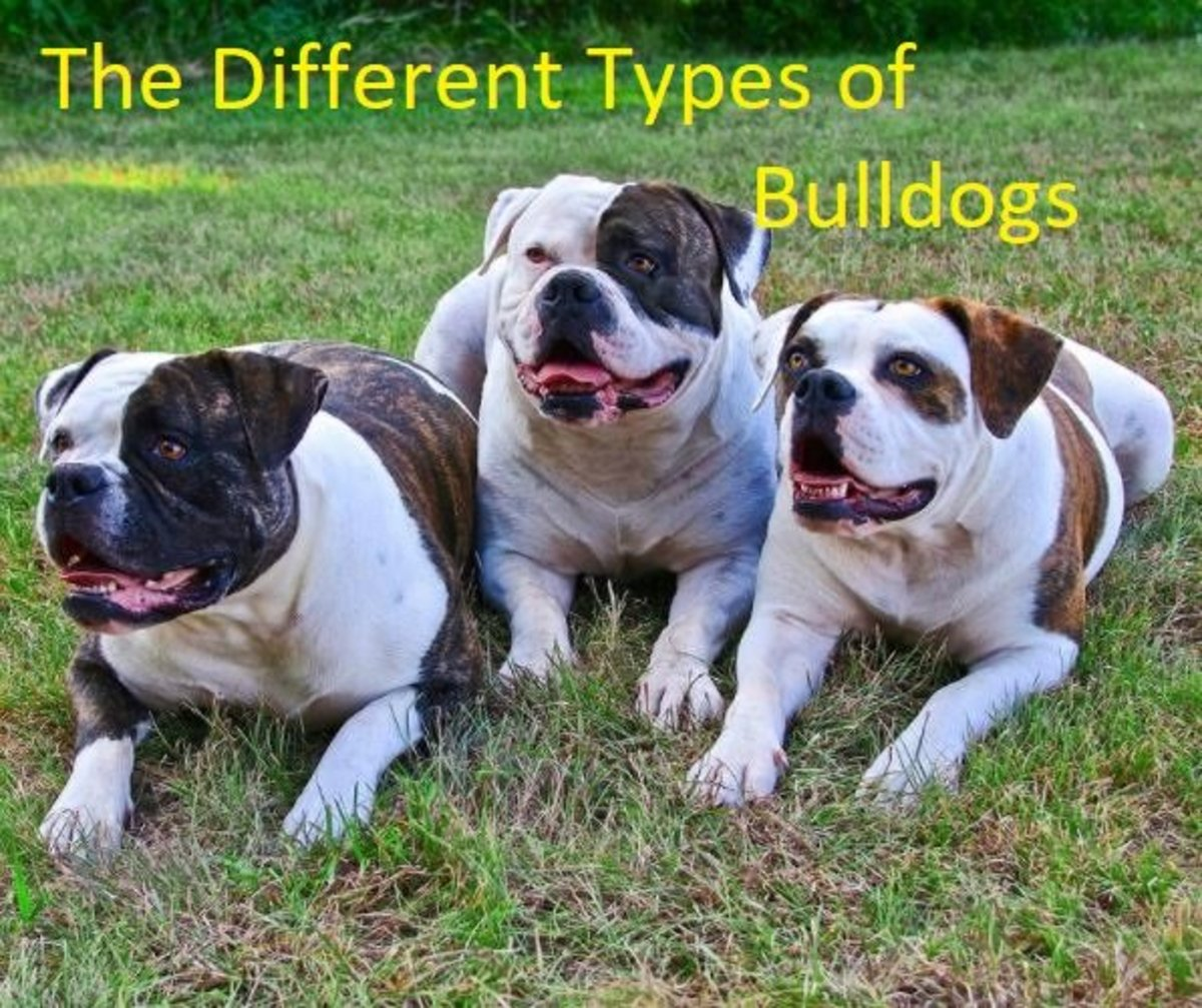 A Guide to the Different Types of Bulldogs