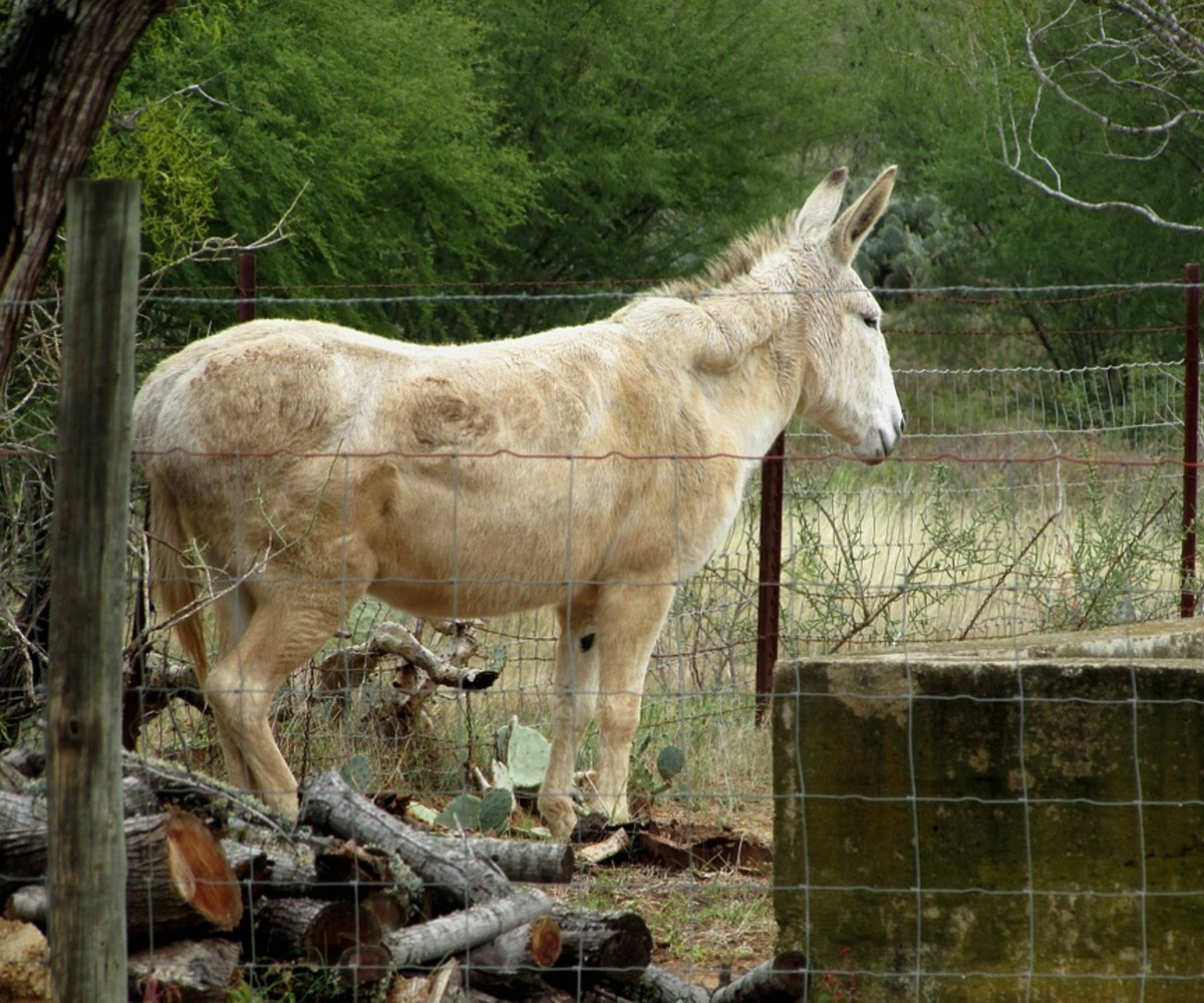 "This is a mule who was very similar to my good friend, ""Gray Bones."""