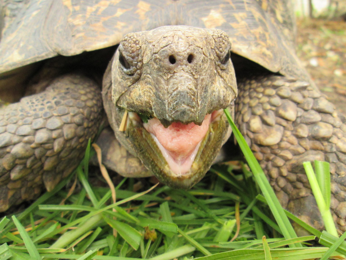 A dry-nosed tortoise is a happy tortoise.